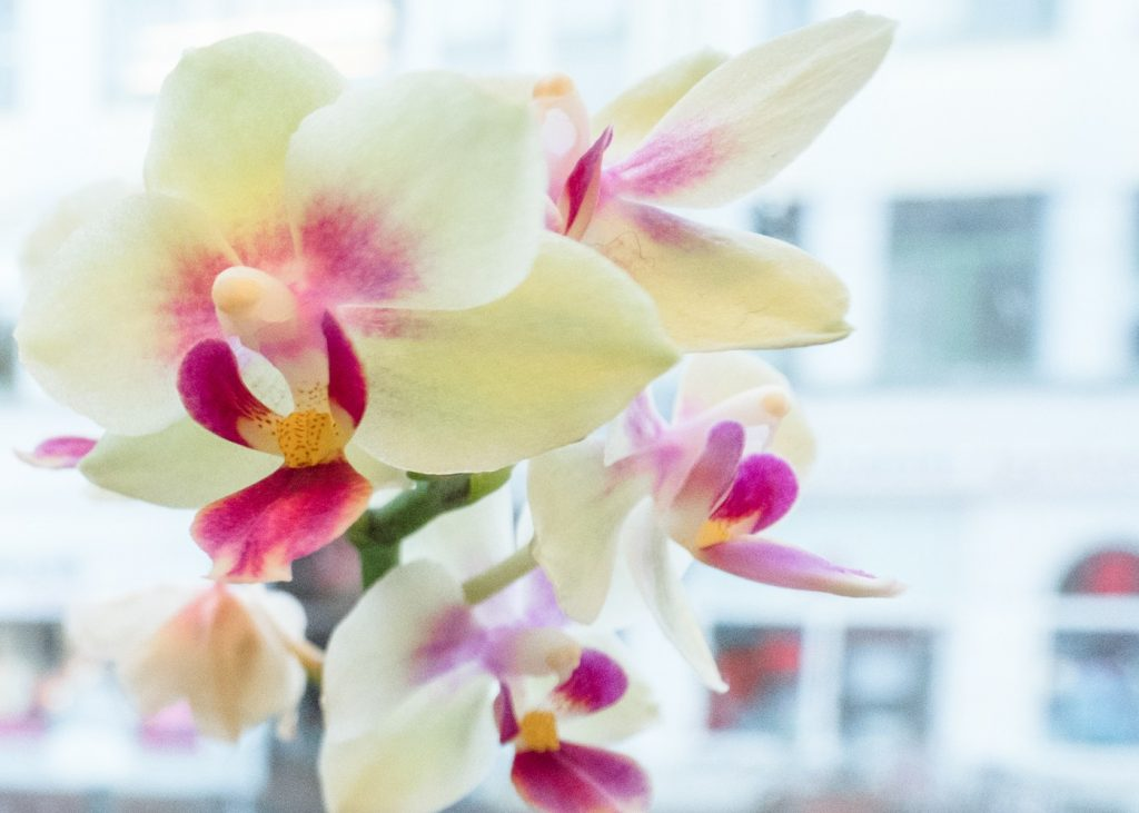 helle Orchidee